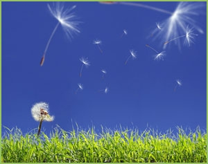 Dandelion seeds in sky